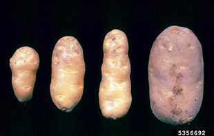 Infected potato tubers that are small and pointed are compared with a healthy large rounded potato