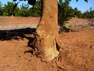 Symptoms of bark scaling