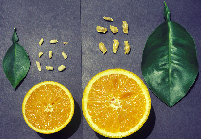 Side-by-side example of fruit that has and has not been affected by this disease. The fruit on the left is severely reduced in size.