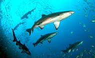 Grey nurse shark at aggregation site Fish Rock, South West Rocks