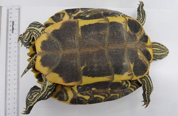Red-eared slider turtle underside