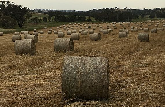 Photo of multiple round bales in a paddock with an overcast sky (Photo: Mel Case)