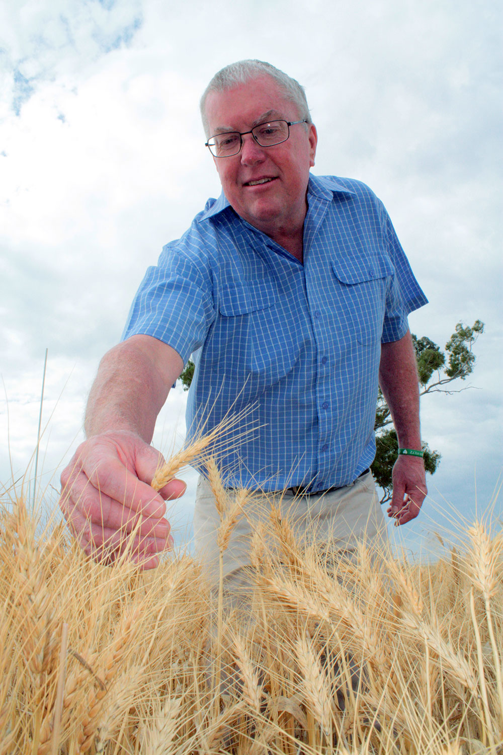 John Pitz is reaching towards the camera to inspect a wheat crop