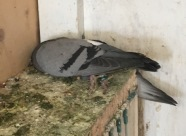 Clinically affected pigeon with evidence of green diarrhoea