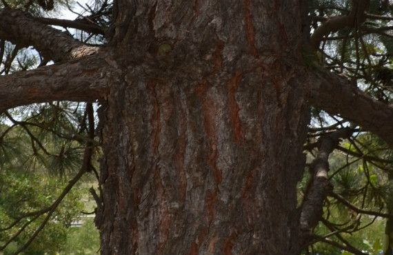 Healthy pine tree with clear bark