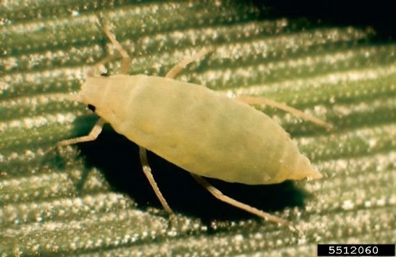 Figure 1. Russian wheat aphid (approx. 2 mm long)  (Image: Kansas Department of Agriculture, Bugwood.org)