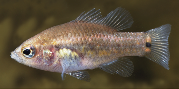 An oxeleyan pygmy perch swimming