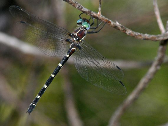 An Adam's emerald dragonfly clinging to a small branch of a tree, with big blue eyes and clack and white stripes on its abdomen