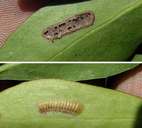 Split picture showing a glassy winged sharpshooter egg mass on the underside of a leaf before and after hatching. Top picture shows dark brown leaf scar left behind after eggs have hatched. Bottom half shows intact egg mass with column shaped, cream coloured eggs laid side by side in a row.