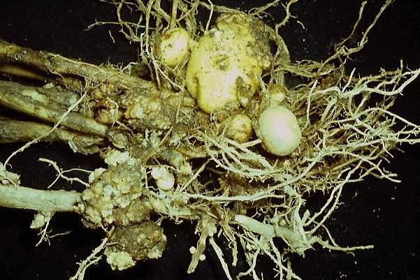 Roots of a potato plant with wart like growths on the tubers and stolons