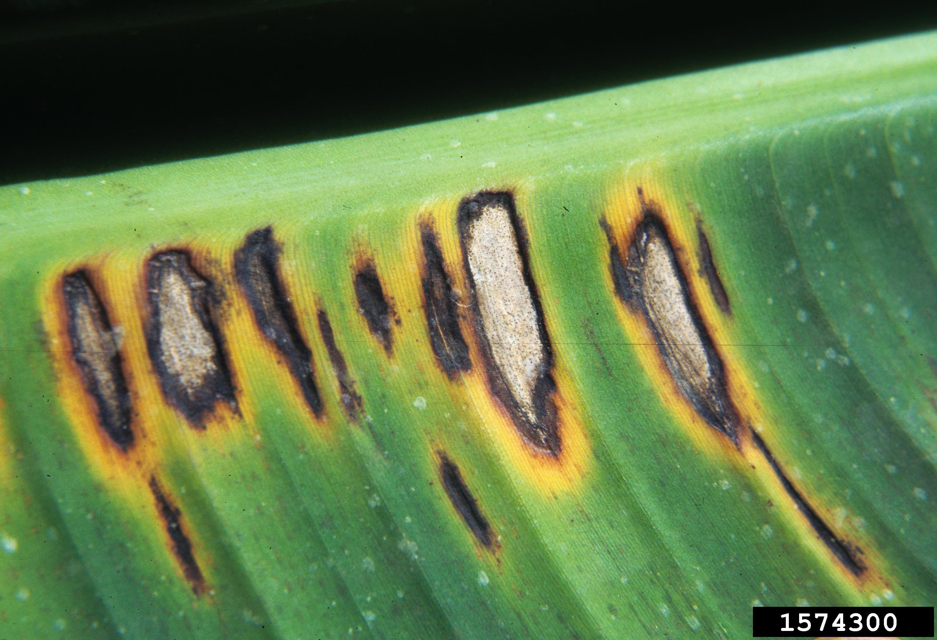 Banana leaf with fungal lesions that are dead at the centre, have a black margin and surrounded by yellow