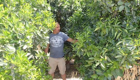 Narrow gap between citrus trees