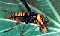 Asian giant hornet on a leaf eating a honey bee.