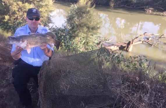 Illegal fish trap and Murray Cod seized from the Gwydir River