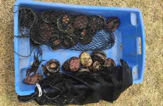 Prohibited size abalone seized at Shellharbour, south of Wollongong NSW