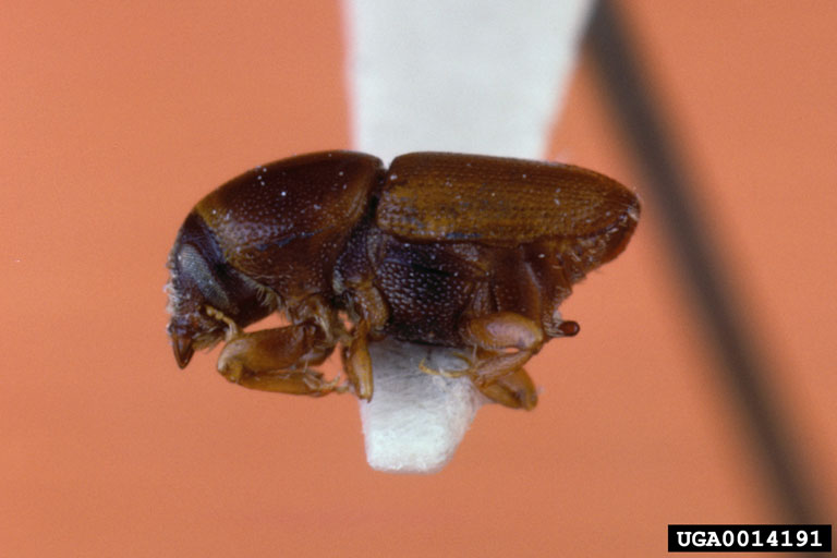 A smaller European elm bark beetle (Scolytus multistriatus) against an orange background.