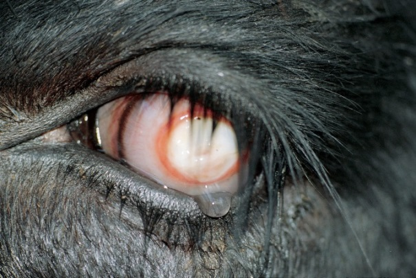 A close up photo of a cow with signs of pink eye with a white pupil and pale red colouring of the sclera