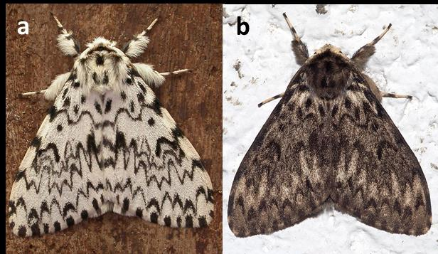 Two images of adult nun moths placed side by side. Image on left is of a primarily white moth with dark brown wavy patterning on wings. Image on left is of a primarily grey-brown moth with similar dark brown wavy patterning.