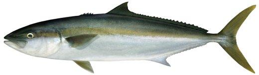 Yellowtail kingfish Seriola lalandi | NSW Department of ...