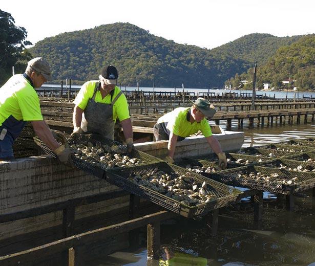 Sydney Rock Oyster Aquaculture