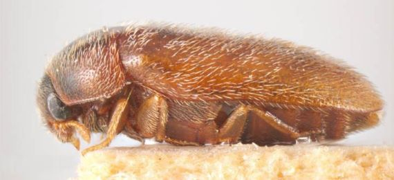 tan brown coloured beetle covered in light hairs with a darker brown head