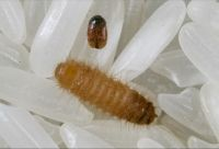 A small brown beetle and a larger lighter brown larva with many hairs, on grains of rice. The adult beetle is smaller than the rice grains, the larva is roughly the same size as a rice grain