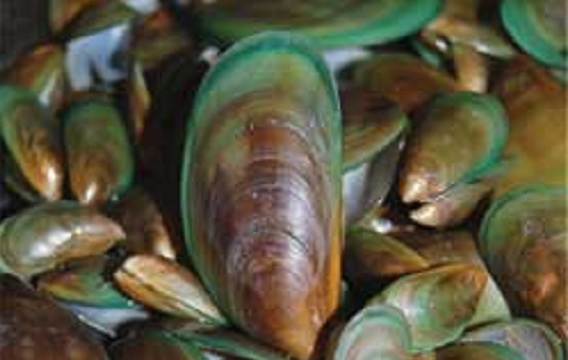 Picture is of a pile of asian green mussels which are brown except around the outside of the shell which is green.