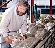 Inspecting sheep
