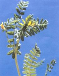 Yellow Serradella