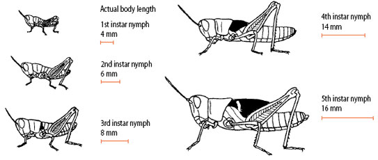 Diagram illustrating locust nymph stages