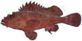 Eastern Red Scorpionfish (Red Rock Cod)