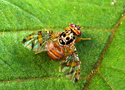 Adult mediterranean fruit fly on a leaf showing yellowish brown colour and patterned wings.