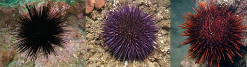 Sea urchin species commonly taken in NSW