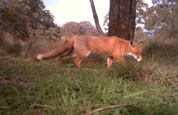 Fox Biology