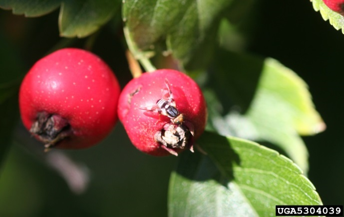 Two hawthorn berries, one with a fly on the surface