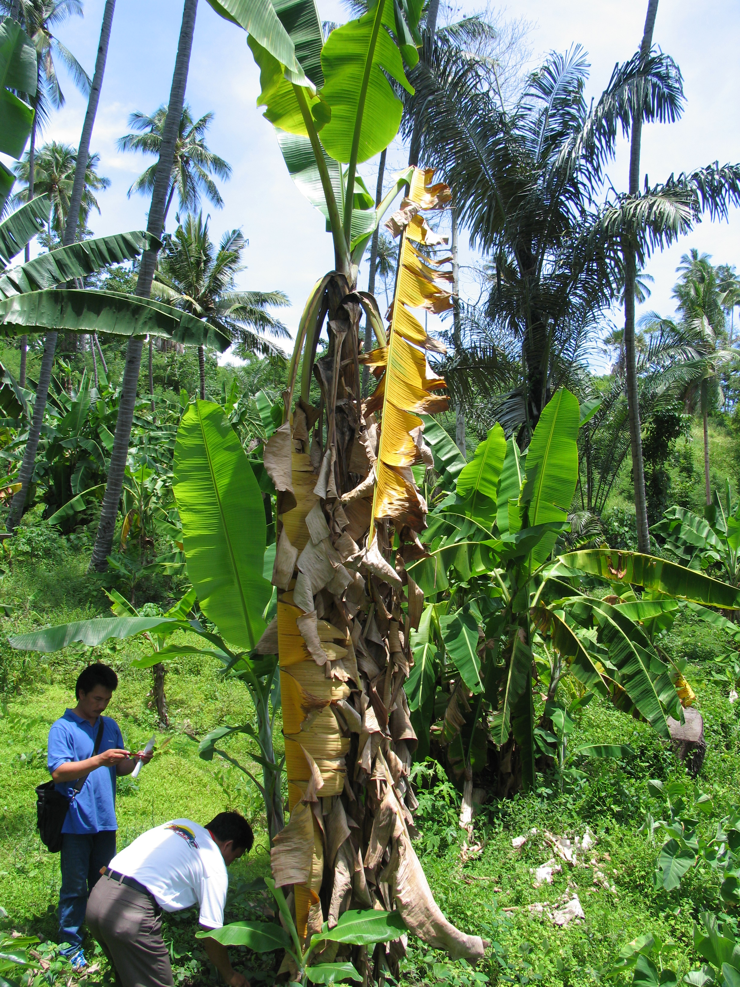 Banana tree with some green healthy leaves at top surrounded by yellowed and browned leaves that have drooped