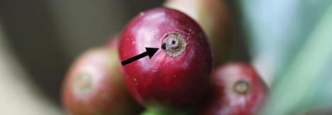 A red coffee berry with and arrow pointing to a small hole in the surface of the berry