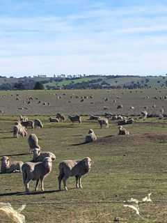 Sheep standing in a dry paddock