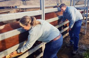 Kristy Saul and Chris Knight conducting a cattle tick inspection at Kempsey Saleyards
