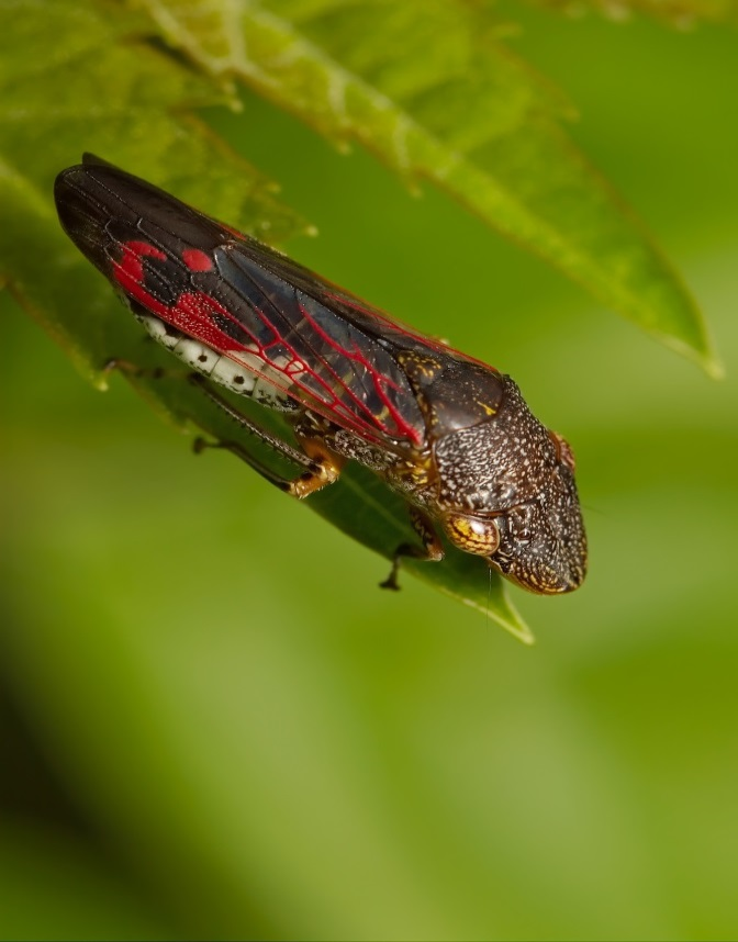 An adult glassy winged sharpshooter on a leaf showing black/brown head, clear wings with distinct red patterning and white colour of lower abdomen
