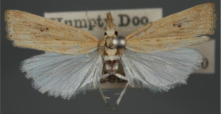 Pinned specimen of stem borer moth with small yellow-brown bodies and 16-25 mm wingspans.
