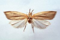 Sugarcane internode borer moth with wings extended and a short body