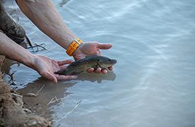 Darling River fish rescue
