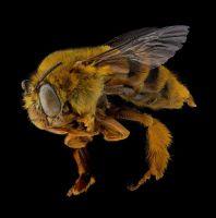 A pinned specimen of a teddy bear bee