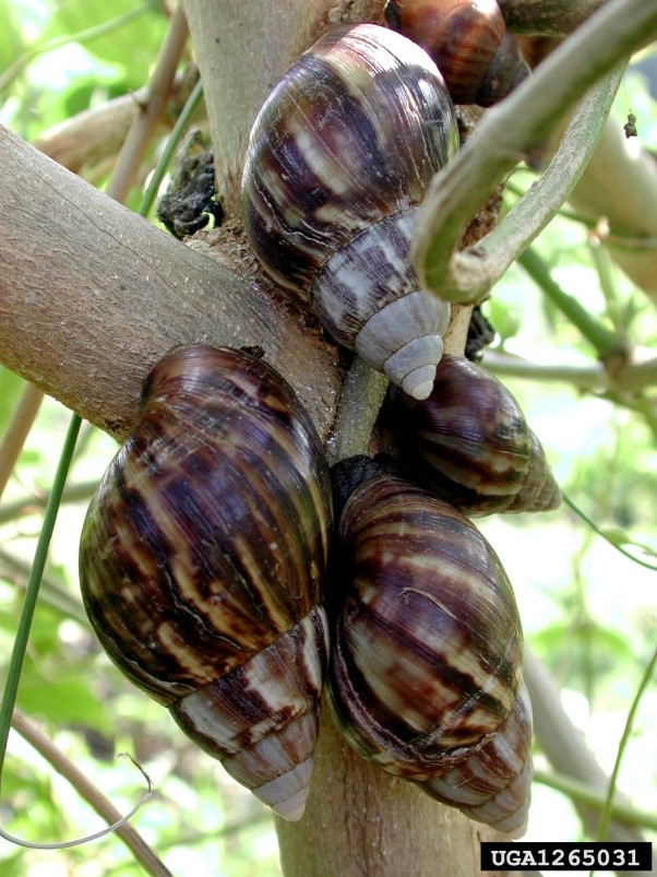 Giant African snails congregate on a tree branch