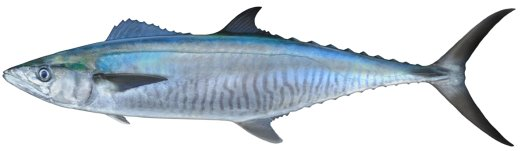 Mackerel Narrow Barred Spanish Scomberomorus Commerson