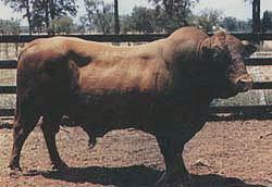 Belmont Red bull