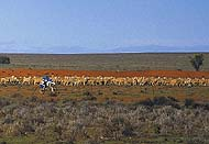 Rangelands - rounding up sheep on motorbike