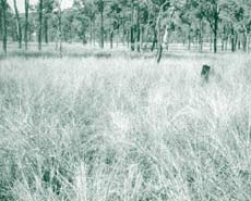 Black speargrass