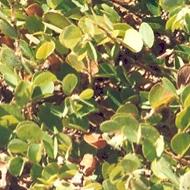 Round-leafed cassia